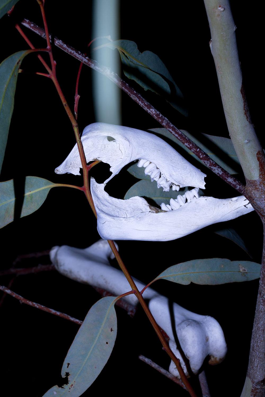 Melissa Spiccia | CONVERSATIONS WITH DEATH KANGAROO SKULL MELISSA SPICCIA