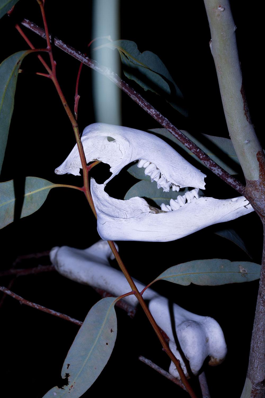 Melissa Spiccia | CONVERSATIONS WITH DEATH KANGAROO SKULLMELISSA SPICCIA