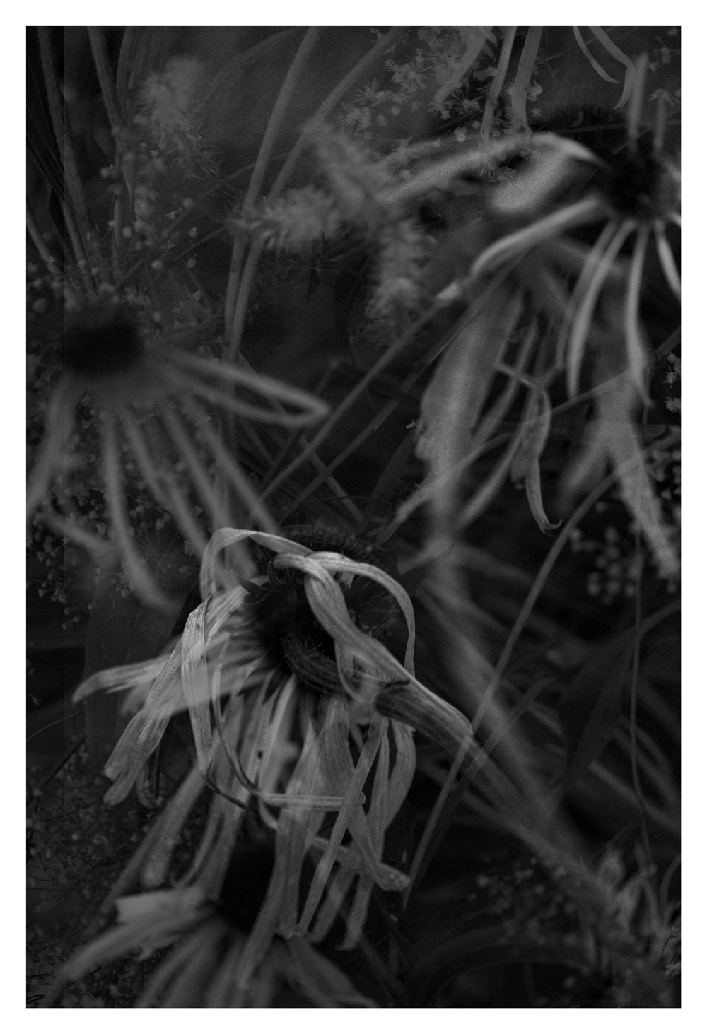 Melissa Spiccia   SEE FLOWERS IN HELL HEART WHO BEATS YOU BLACK AND WHITE FLOWERS MELISSA SPICCIA
